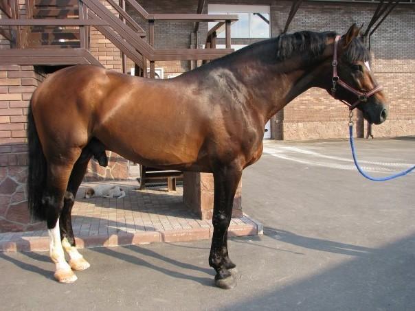 Фото лошади гнедой масти голштинской породы