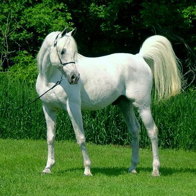 Фото лошади породы шагия араб серой масти