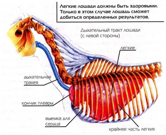 Лёгкие и шея лошади