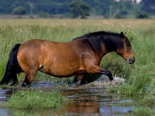 Фото хайленд пони гнедой масти