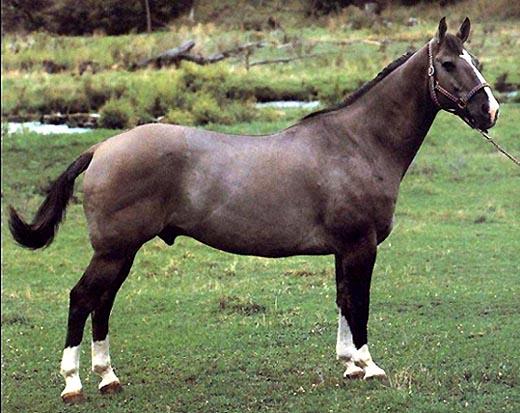 Фото канадской лошади