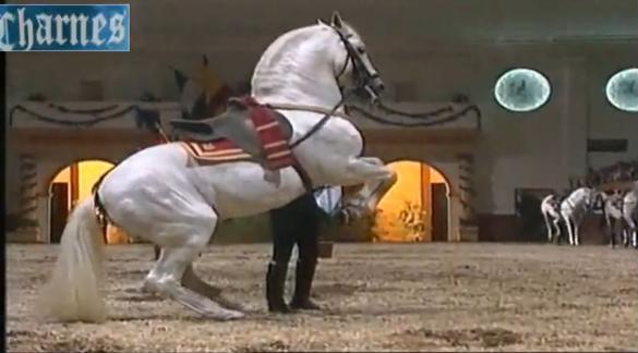 Фото андалузской лошади серой масти