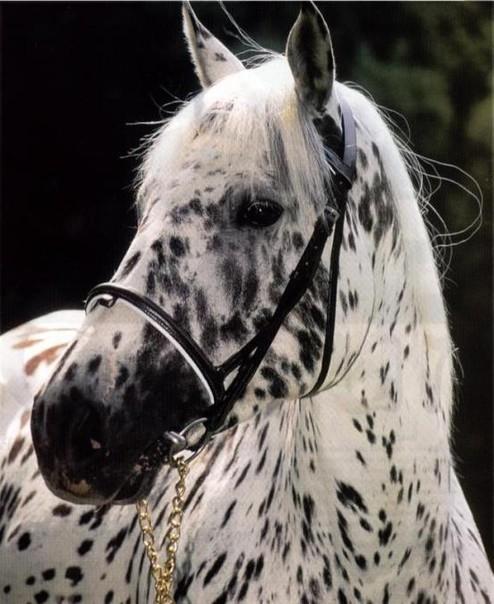 лошади породы аппалуза фото