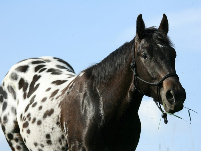 Фото лошади породы аппалуза чубарой масти