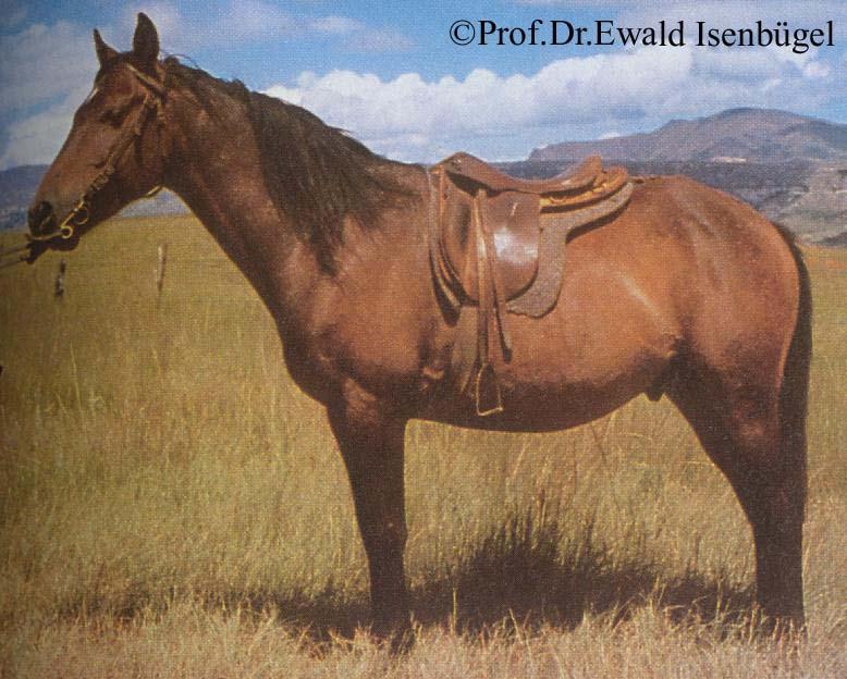 Фото лошади породы басуто рыжей масти