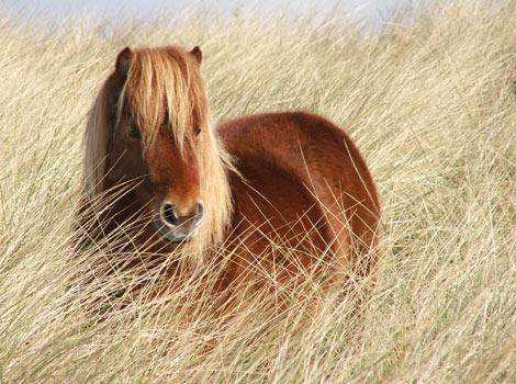 Лошадь породы американский шетланд рыжей масти