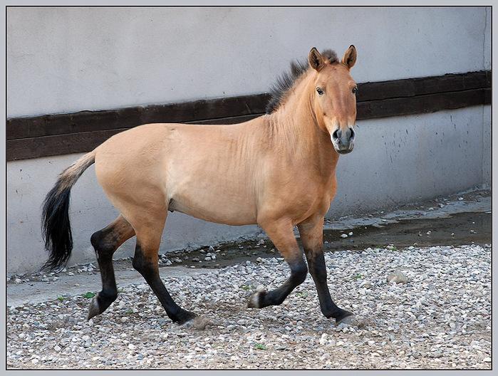 Фото лошади Пржевальского