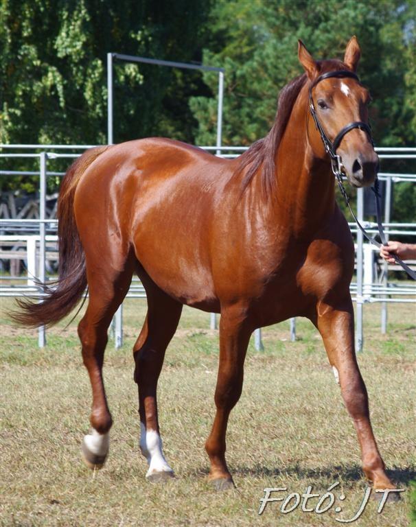 Лошадь породы Гидран рыжей масти