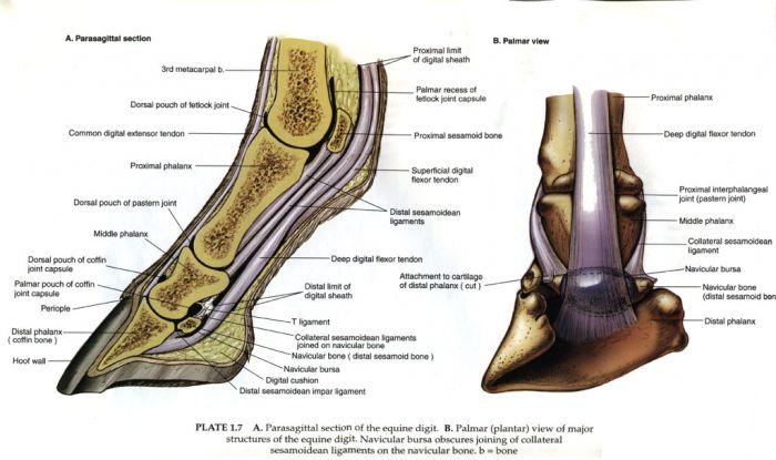 Воспаление скакательного сустава у лошадей хиромантия суставы