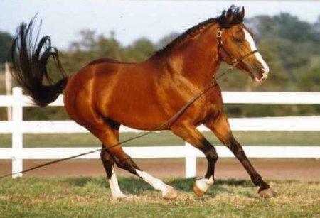 Фото лошади породы ирландский гунтер гнедой масти