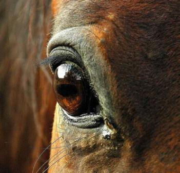 фото лошади глаза
