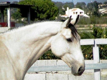 Фото лошади породы лузитано