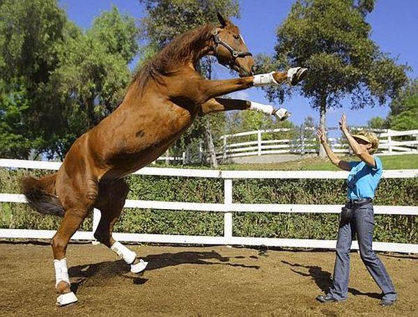 Самый умный конь в мире лукас