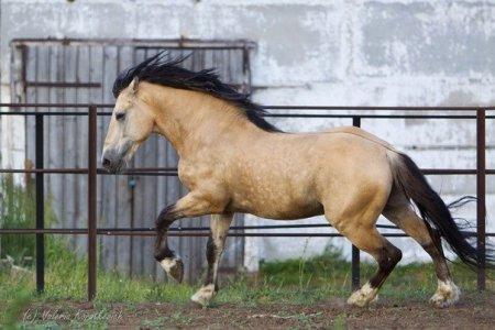 Лошадь саврасой масти