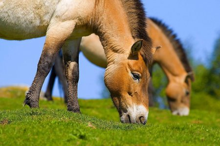 Фото лошадей Пржевальского, которые едят траву