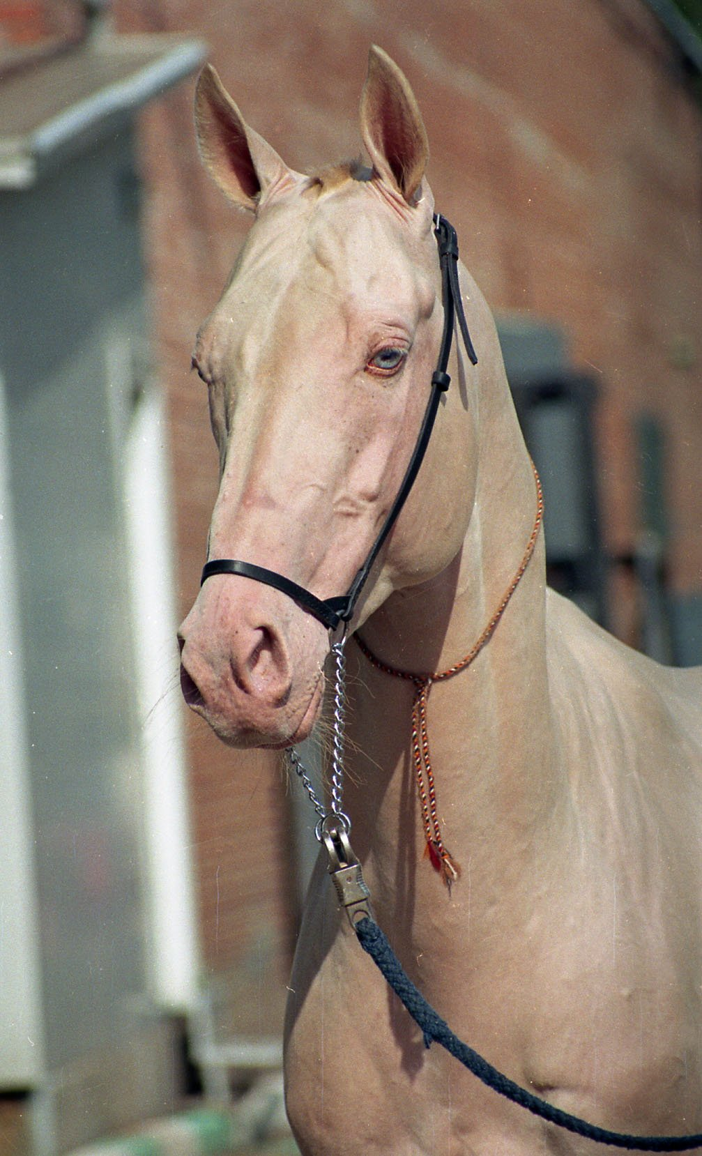 Pearl horse color